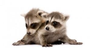 racoon-babies