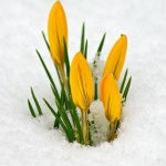 flowers-in-snow