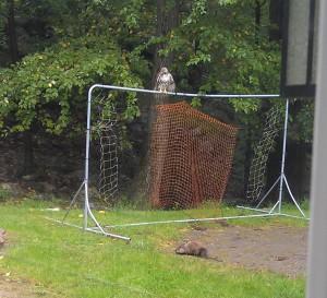 hawk in yard