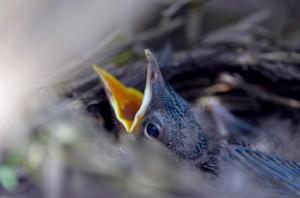 Baby bird eat