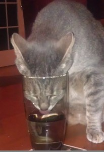 cat drinking from glass