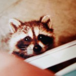 Before I raised children, I was a raccoon mom. Oh the things they taught me.